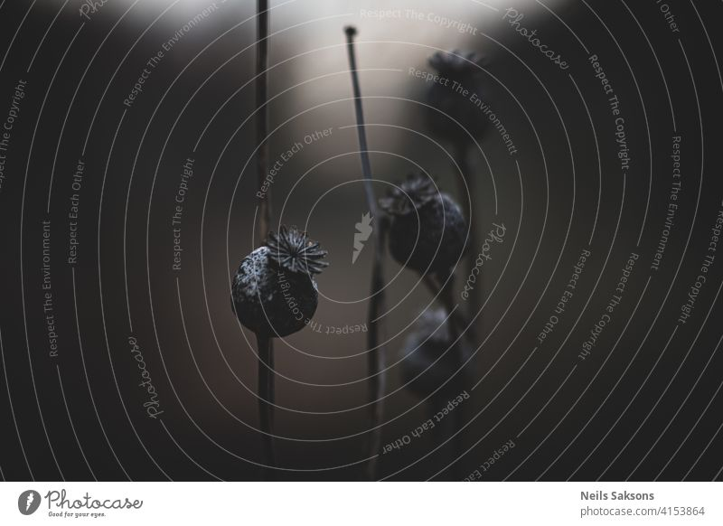 trockene Mohndosen und Stiele Sucht Ackerbau Hintergrund Schönheit schwarz Kasten braun Kapsel Nahaufnahme kultivieren Bodenbearbeitung Kultur