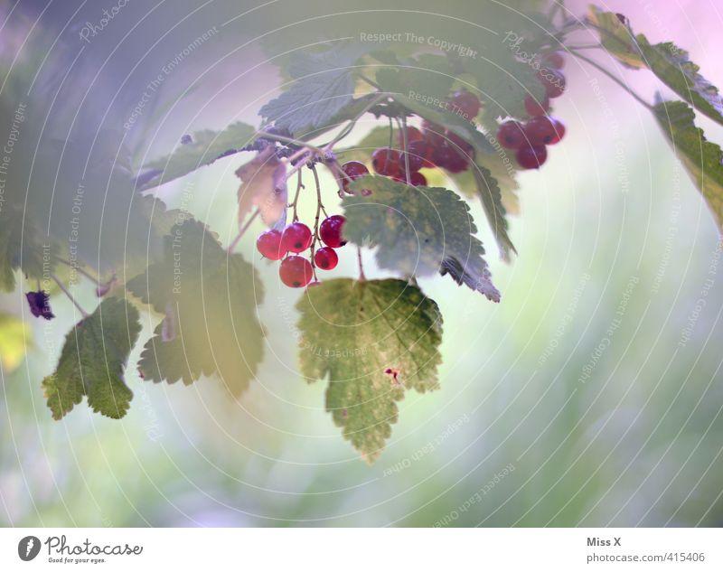 Johannis Lebensmittel Frucht Ernährung Bioprodukte Vegetarische Ernährung Garten Sommer Pflanze Sträucher frisch Gesundheit lecker saftig sauer süß rot