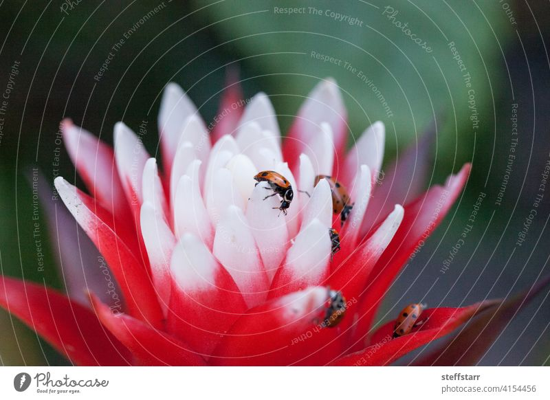 Rote und weiße Bromelienblüte mit einem konvergenten Marienkäfer konvergenter Marienkäfer Wanze Hippodamia convergens Käfer Insekt rot schwarze Punkte