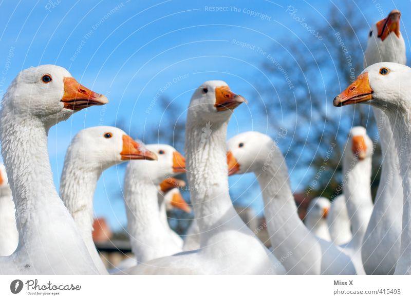 Frauenverein ;-) Tier Nutztier Vogel Tiergruppe Schwarm Kommunizieren Neugier schnattern Schnabel Gackern Gans Ente Gänsemarsch Versammlung sprechen Farbfoto