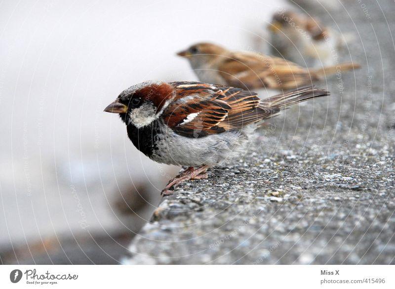 Spatzensitz Tier Mauer Vogel Wildtier Tierpaar warten niedlich Appetit & Hunger Reihe Schnabel Schüchternheit Schwarm füttern Singvögel Fink
