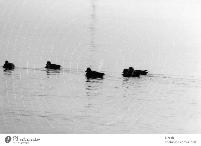 Enten Wasser ruhig See Teich Ente