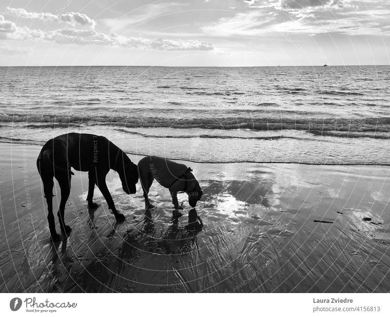 Hunde am Strand genießen den Spaziergang Hunderasse Hund züchten Familienhund Tier Hundeauslauf Deutsche Dogge Tierporträt Schniefen schnüffelnd Hundeschnüffeln