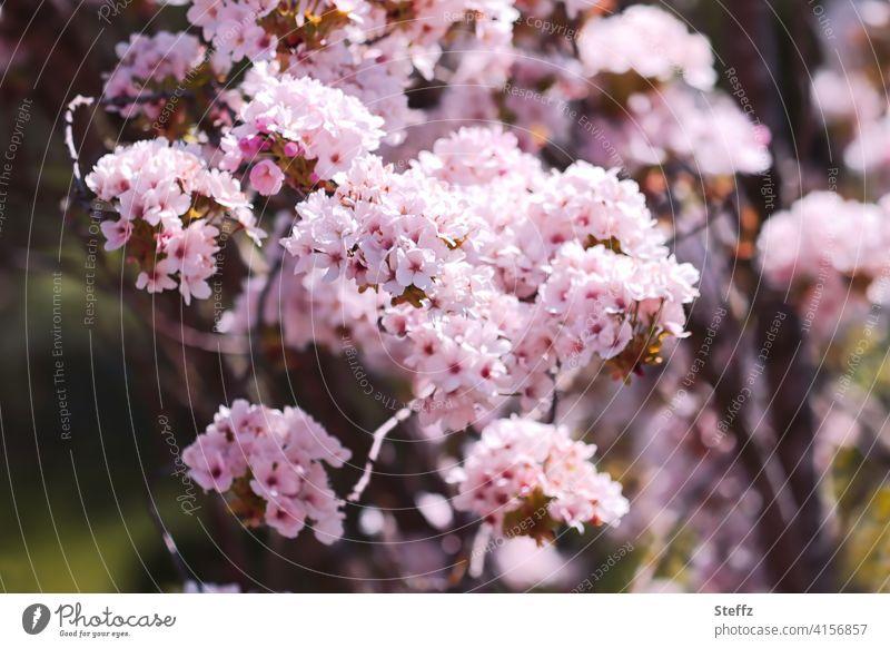 Zierkirsche in voller Blüte Säulenkirsche Blütenkirsche Prunus Blütezeit April Kirschenblüten Kirschblüte Kirschbaum Frühlingserwachen Blütenmeer Blütenpracht