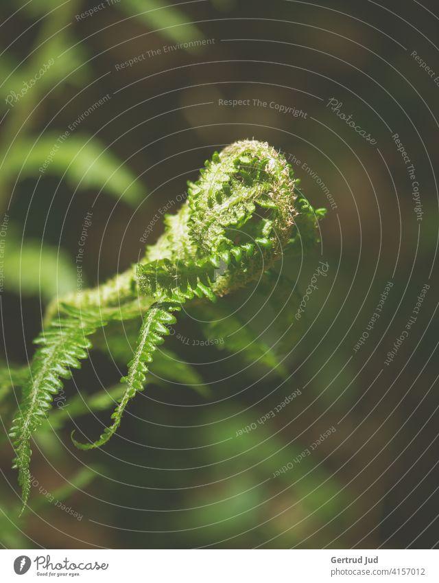 Farnknospe wächst aus dunklem Waldgrün Farbe grün Natur Wandern Pflanze Farbfoto Außenaufnahme Wildpflanze Schwache Tiefenschärfe Knospe Frühling Umwelt