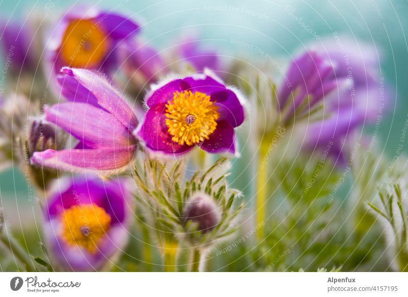 objektiv | lila Blumen Blüte Frühling Pflanze gelb Nahaufnahme Makroaufnahme Blühend weiß Garten Lila Blume lila Blüte violett Natur Farbfoto