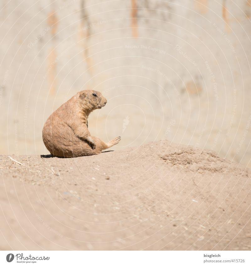 Präriehund IV Zoo Tier Wildtier 1 Blick sitzen braun achtsam Wachsamkeit Gelassenheit geduldig ruhig schön Farbfoto Außenaufnahme Menschenleer