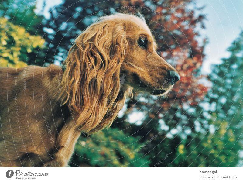 Noras Profil schön Himmel Baum Herbst Hund braun Sicherheit niedlich Säugetier Cocker Spaniel