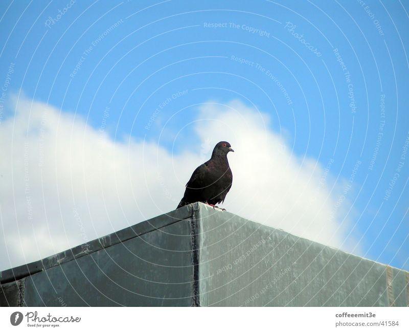 Carlson auf dem Dach Taube Vogel Wolken Haus Tier schwarz weiß grau Vogelperspektive Himmel blau Macht