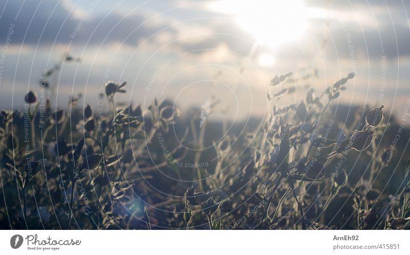 Sommer Natur Landschaft Pflanze Himmel Wolken Sonne Sonnenlicht Schönes Wetter Blume Gras Sträucher Wildpflanze Feld Wärme gelb gold Warmherzigkeit Farbfoto