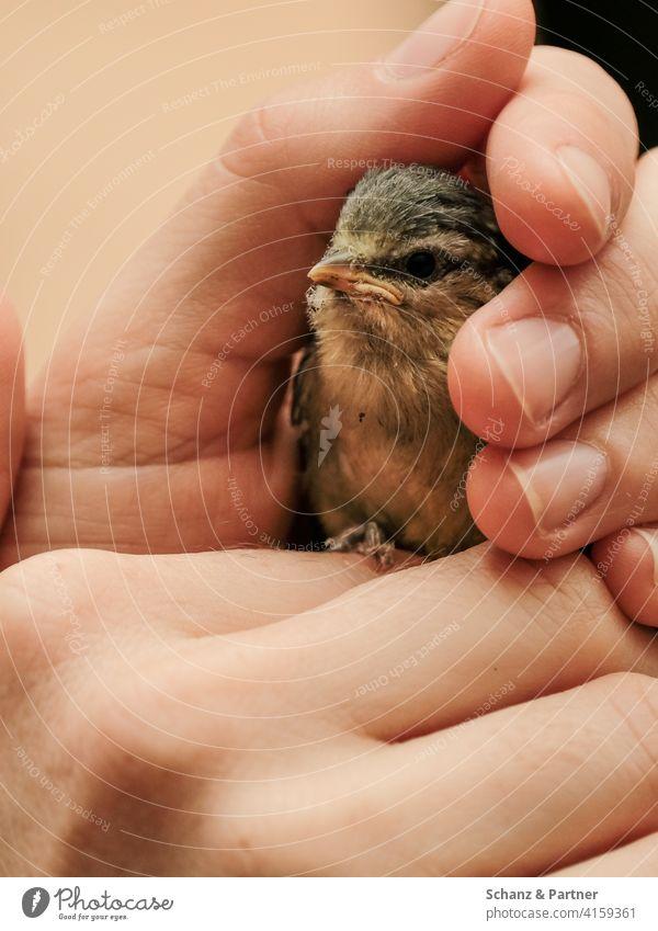 Junge Blaumeise in einer Menschenhand Nestling Ästling rausgefallen Wärme Schutz Geborgenheit Rettung retten schützen Vogelküken Küken Gartenvogel Tier