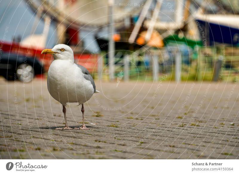 Silbermöwe am Hafen wartet auf Futter Möwe Vogel Larus argentatus Nordsee Ostsee Urlaub Küste Ferienhaus Ferienwohnung Norden Deich Wattenmeer Familienurlaub