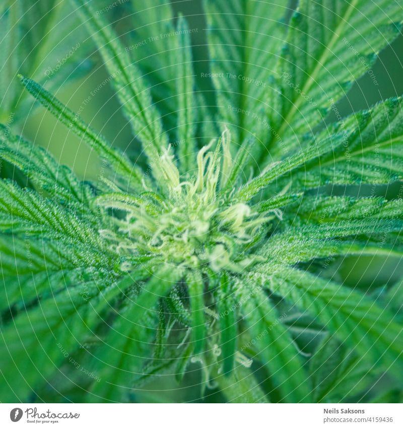 schöne Blume versehentlich im Gewächshaus geblüht Ackerbau Hintergrund Botanik Cannabis cbd Nahaufnahme Kultur Drogenfarm Feld Laubwerk ganja Garten Gras grün