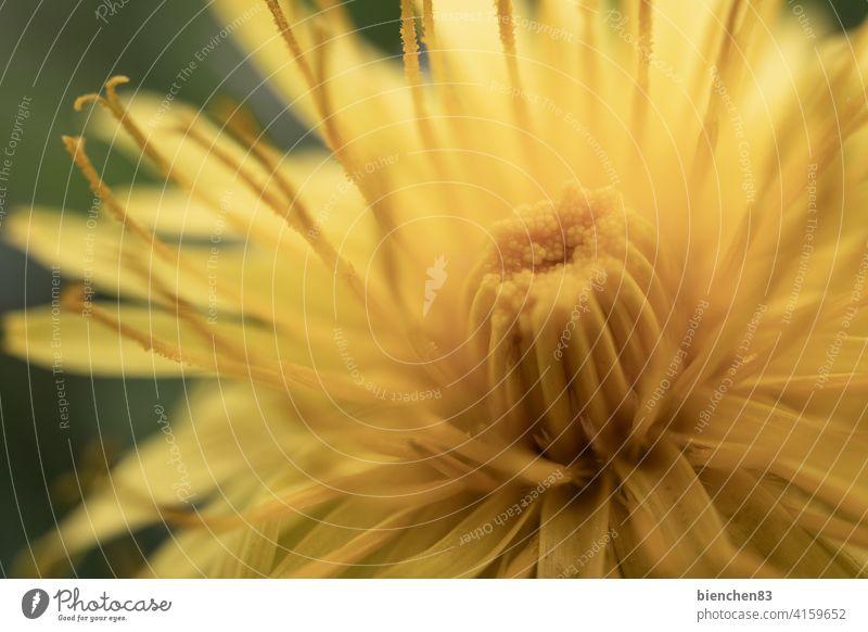 Löwenzahn unter der Lupe Löwenzahnblüte Blume Natur Wiese gelb Frühling Pusteblume Makroaufnahme Blüte Blütenstempel