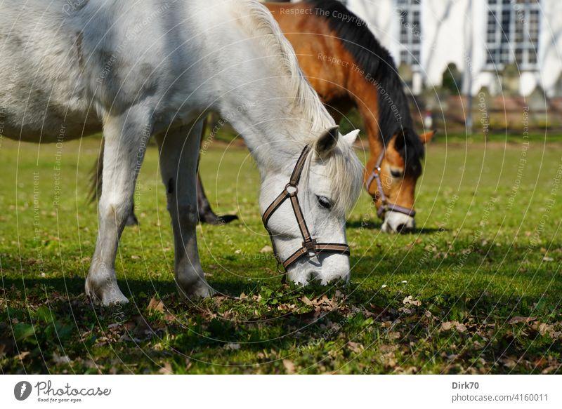 Zwei grasende Pferde auf dem Dorfanger Grasendes Pferd Schimmel Pony Ponies Wiese Weide Allmende Dorfidylle dörflich ländlich Grasland Brauner