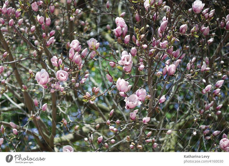 Magnolie Magnolienblüte Magnolienbaum rosa Frühling Garten Schönes Wetter Baum Blühend Magnoliengewächse Menschenleer Außenaufnahme Farbfoto Blüte Duft Umwelt