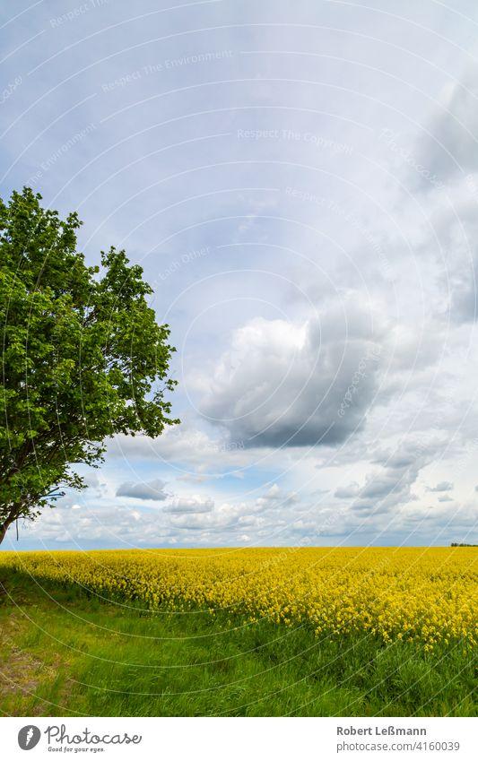 ein Rapsfeld bei bewölkten Himmel Feld Blüte Sommer Blume von unten Hintergrund Rapsöl Ernte Nahaufnahme nach oben Frosch perspektive Landschaft gelb Natur grün