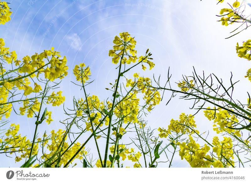 Nahaufnahme von blühendem Raps im Sommer, von unten nach oben fotografiert Feld Blüte Blume Hintergrund Rapsöl Ernte Landschaft gelb Rapsfeld Natur grün Pflanze