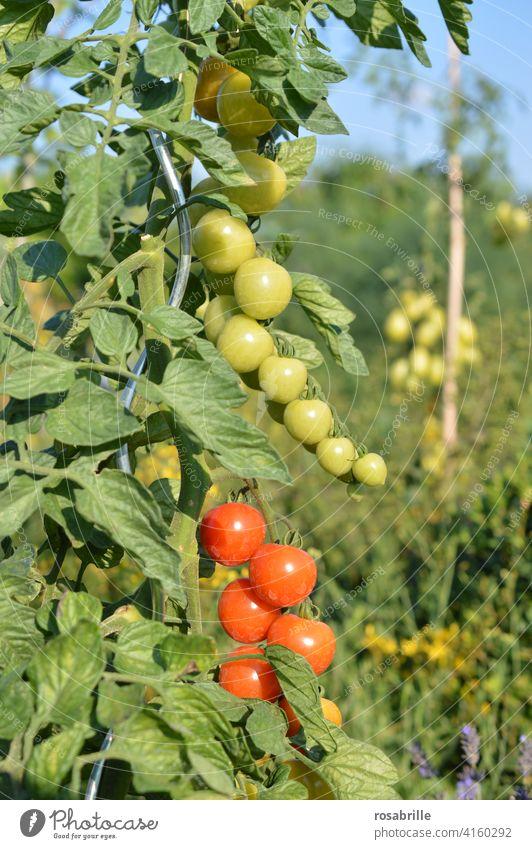 grün, gelb, rot | Tomaten in unterschiedlichem Reifegrad Tomatenpflanze reif unreif reifen Pflanze wachsen Garten Gartenarbeit gärtnern Gemüse Gemüseanbau