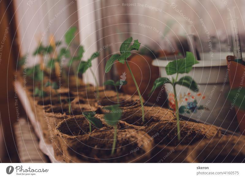 Sämlinge in Torf Töpfe. Baby-Pflanzen Aussaat, schwarze Loch Schalen für landwirtschaftliche Sämlinge. Die Frühjahrspflanzung. Frühe Sämling, aus Samen in Boxen zu Hause auf der Fensterbank gewachsen.