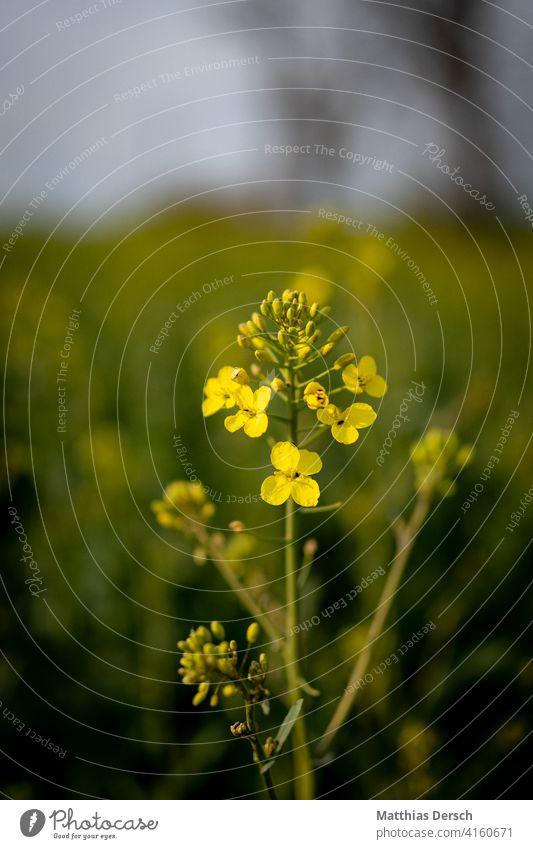 Rapsblüte Rapsfeld Rapsanbau gelb Landwirtschaft grün Feld Natur Tag Außenaufnahme Landschaft Nutzpflanze Umwelt Pflanze Blühend