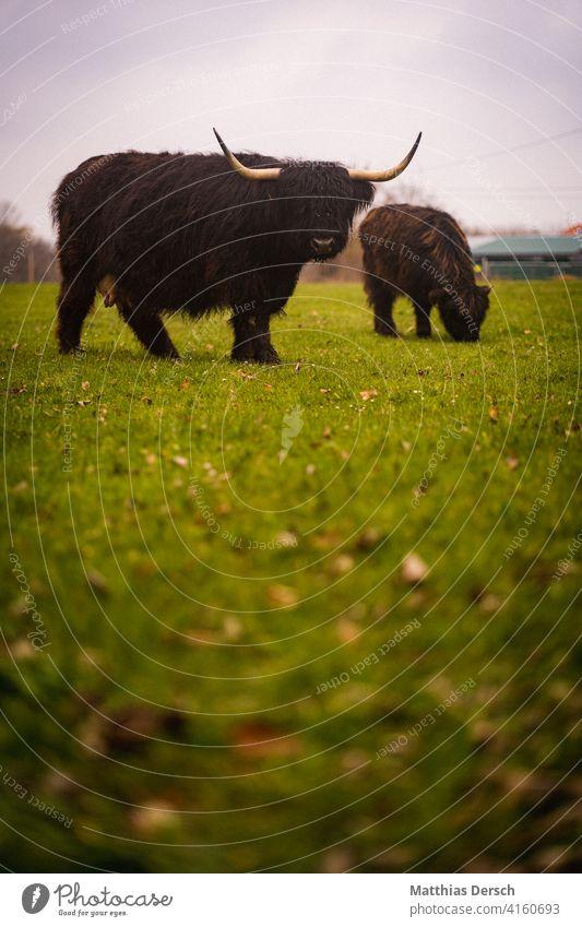 Highland-Rinder Highland Cattle Highlandcow Kuh Landwirtschaft Viehzucht Hörner Nutztier Außenaufnahme Weide Wiese Biologische Landwirtschaft Rinderhaltung