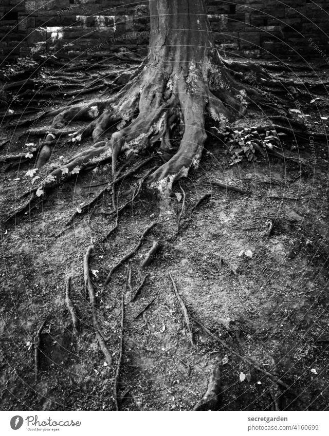 Düsterwald Wurzeln Baum alt Boden Erde Park Schwarzweißfoto Kontrast Baumstamm wurzeln schlagen Pflanze Wachstum Natur Wald Außenaufnahme Menschenleer