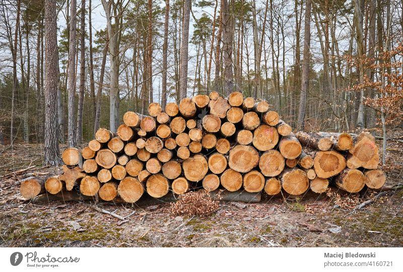 Gefällte Kiefernstämme in einem Wald. Baum Abholzung Entwaldung Natur Forstwirtschaft Totholz Kofferraum Industrie Holz gefällt natürlich geschnitten Haufen