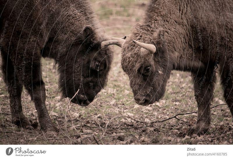 Zwei Wisente stehen sich in der Natur gegenüber Bison Bisons Tier Tierwelt Hupe Hörner Kopf Pflanzenfresser Kuh Säugetier Zoologie gegenüberstehen