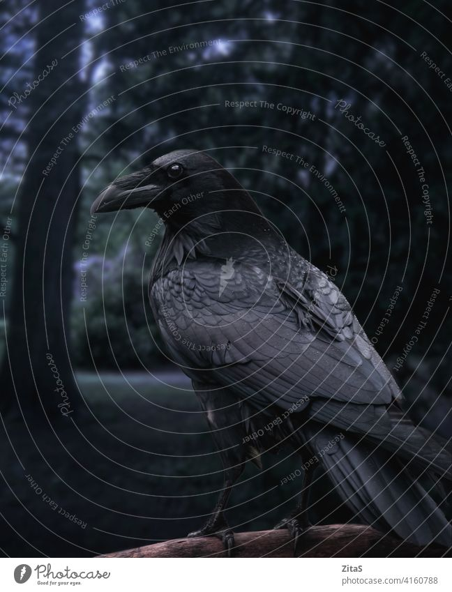 Schwarzer Rabe sitzt auf einem Ast in einem dunklen Wald Krone schwarz Vogel schwarzer Vogel Federn Tier wild Tierwelt Natur dunkel beängstigend Entsetzen
