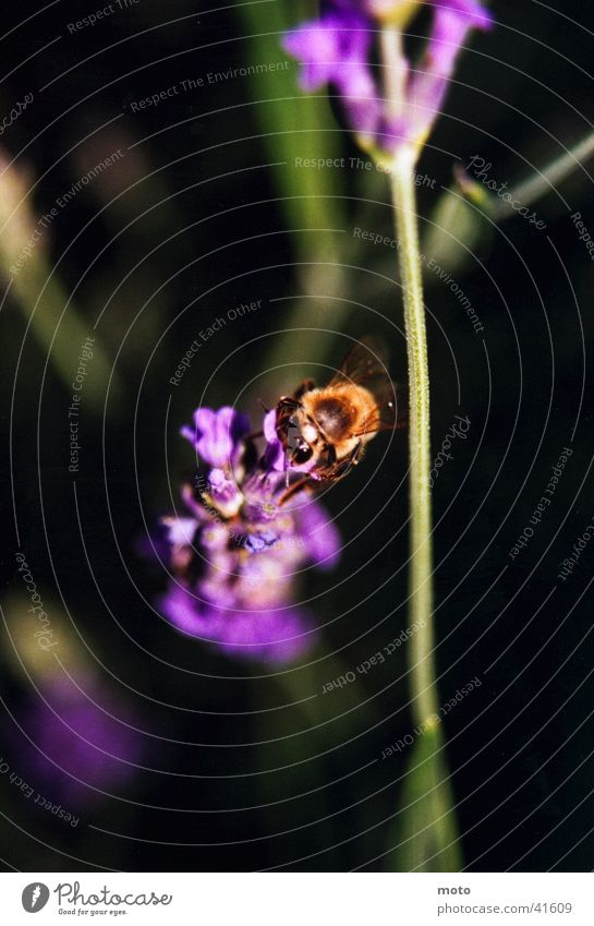 Biene Blüte Sommer Italien Honig Wespen Verkehr Makroaufnahme Detailaufnahme