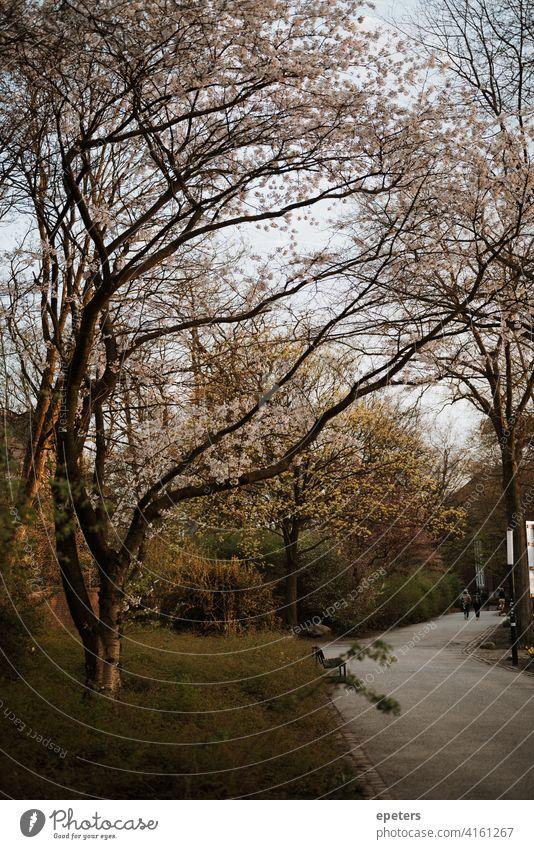 Blick auf blühende Bäume und einen Weg im Park Planten un Blomen bei Sonnenuntergang Hamburg Deutschland Planten un Blomen - Park orange gelb Frühling Asphalt