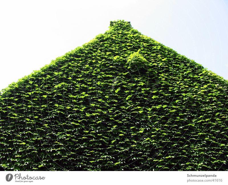 Grünes Haus grün Blatt Wachstum Münster