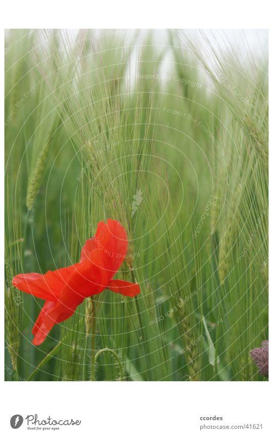 Mohnblume vor Aehren Natur Blume grün Pflanze rot Sommer Landschaft Feld Landwirtschaft Wildtier Weizen Kornfeld Eyecatcher Weizenfeld