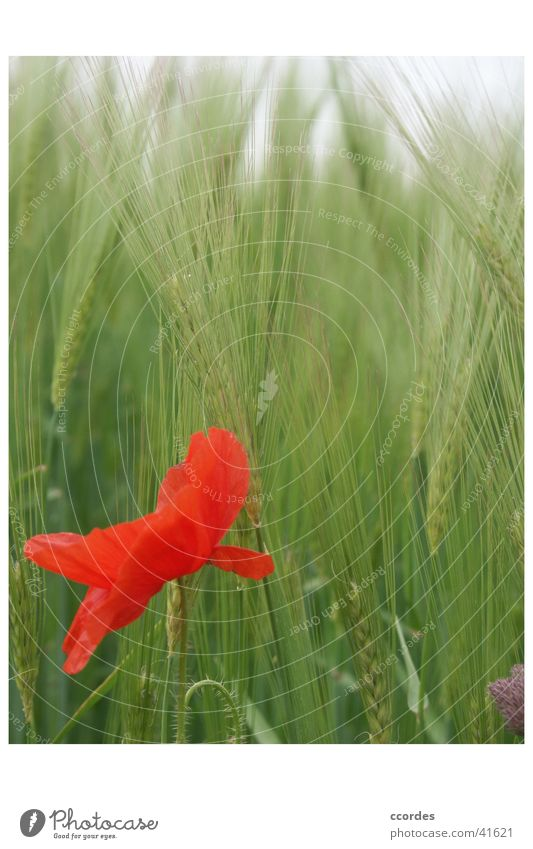 Mohnblume vor Aehren Natur Blume grün Pflanze rot Sommer Landschaft Feld Landwirtschaft Wildtier Mohn Weizen Kornfeld Eyecatcher Weizenfeld