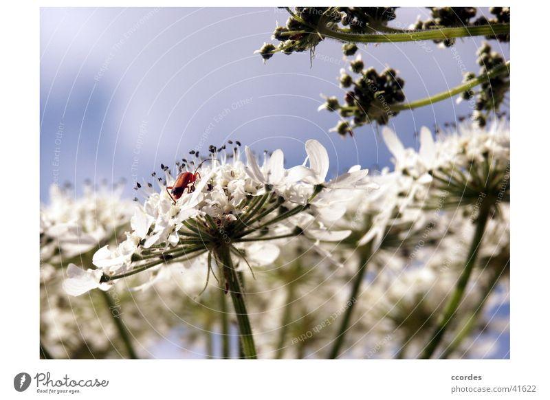 Nahaufnahme Natur Himmel weiß Blume blau Pflanze Insekt Käfer