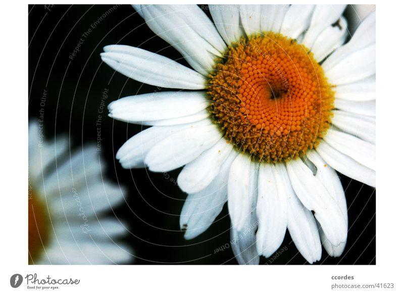 Margheriten Natur weiß Blume Pflanze Sommer gelb Blüte Garten orange Vordergrund