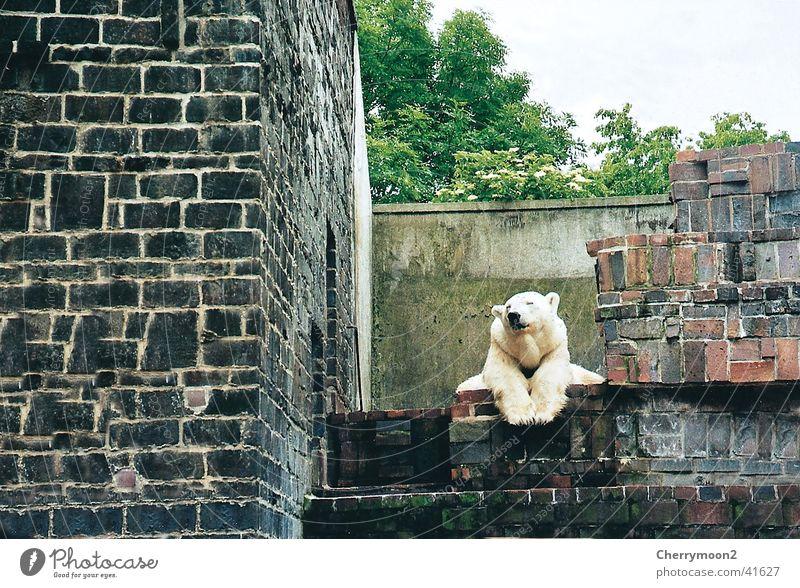 Is mir langweilig... ruhig Tier Erholung lustig liegen beobachten Zoo tierisch Bär erhaben drollig faulenzen Berlin Eisbär Tiergarten bärenstark