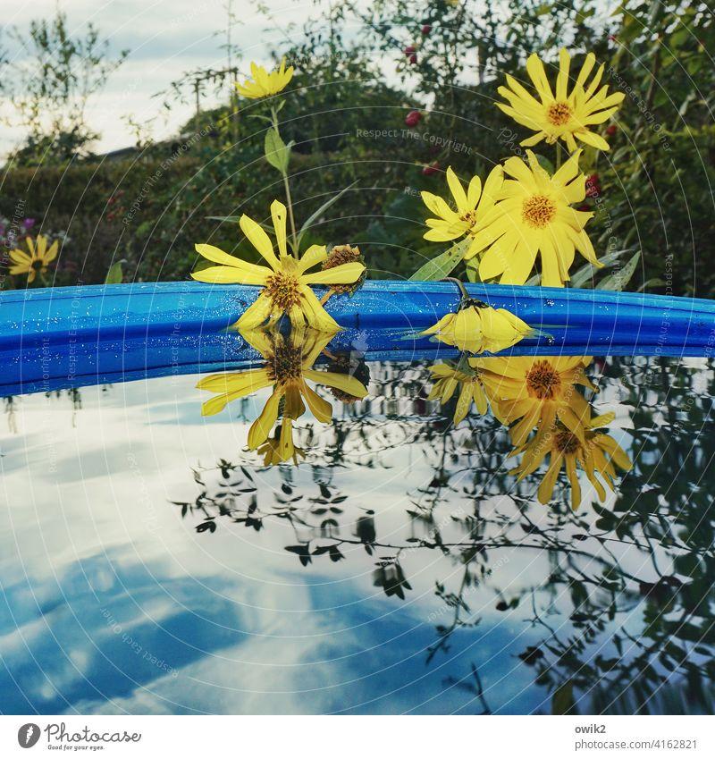 Wasserpflanzen Wasserzuber Blüte Blühend Wasserspiegelung viele blühend gelb Margeriten Blumen Wasseroberfläche Gartenbau Pflanze Schönes Wetter Natur Umwelt