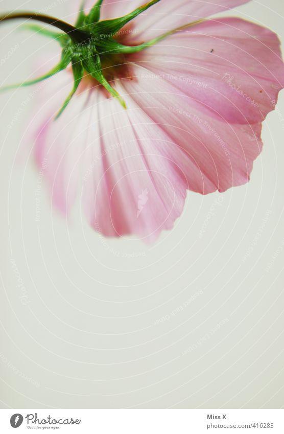 rosa Cosmea Blume Blüte Blühend Duft zart Schmuckkörbchen filigran Farbfoto mehrfarbig Nahaufnahme Detailaufnahme Menschenleer Textfreiraum unten