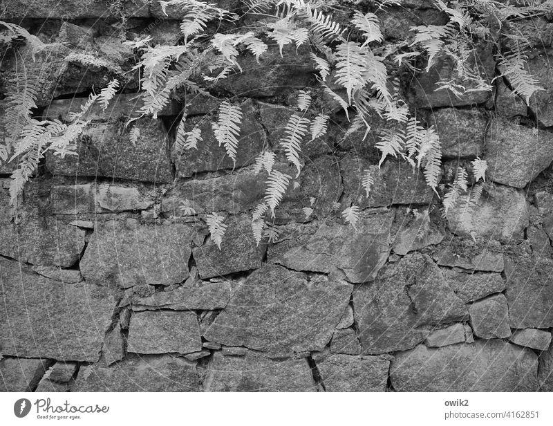 Steine und Farne Umwelt Natur Pflanze Außenaufnahme Idylle Echte Farne Wachstum friedlich ruhig natürlich Fächer Wildpflanze Detailaufnahme Mauer Wand alt