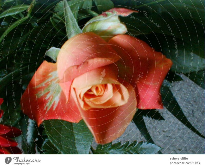 rose Rose Blume duftig rosig