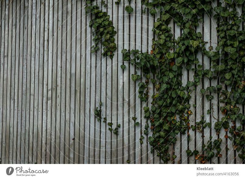 Grau melierte Holzlattenwand durch die sich das Efeu rankt - leicht schräge Ansicht Holzlattenwand, Naturholz Maserung alt Farbfoto Außenaufnahme
