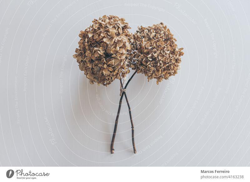 getrocknete Blumen isoliert auf weißem Holztisch Blumenrahmen Hydrangea macrophylla Tapete Hortensien Ansicht texturiert Blumenrabatte Blumenhintergrund