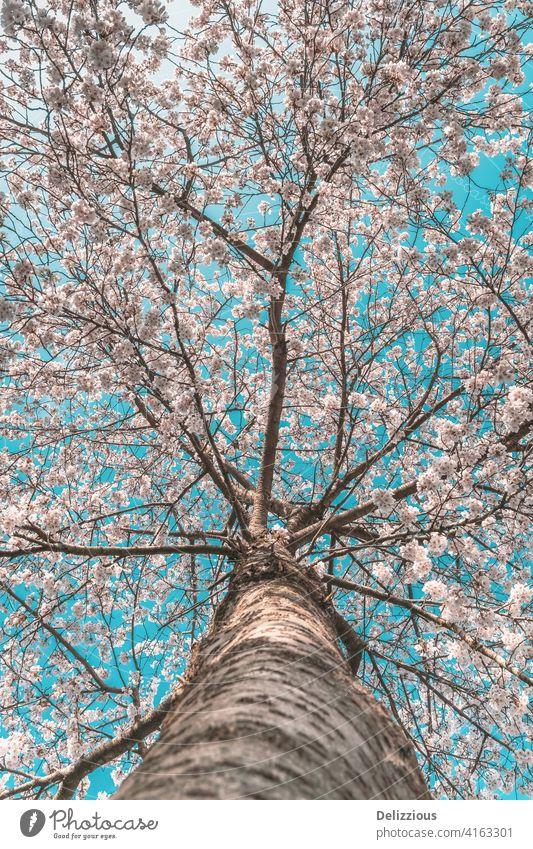 Ein schöner Kirschblütenbaum mit Perspektive vom unteren Baumstamm, blauer Himmel hölzern Blüte Sakura Blauer Himmel Japanisch Blume Blumen Tradition sping