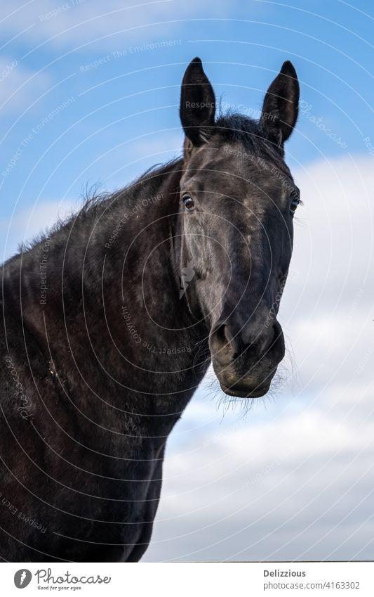 Ein Porträt von einem schwarzen Pferd mit blauem Himmel mit Wolken, isoliert Nahaufnahme Blauer Himmel Rappe Tier schwarze Schönheit schön Natur schnelles Pferd