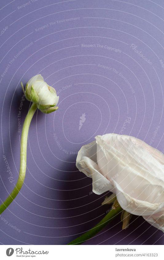Weißer Ranunkelstrauch (Ranunculus Asiaticus) auf Pastellviolett mit Copyspace Hahnenfuß (Ranunculus asiaticus) Persischer Hahnenfuß Blumen botanisch