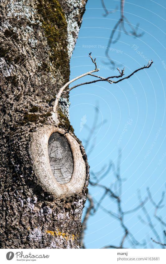Ein Anglerfisch. Getarnt als Baum, der seine Verletzungen gut verheilt hat und der neue Ast noch nicht als gleichwertiger Ersatz herangewachsen ist. Narben