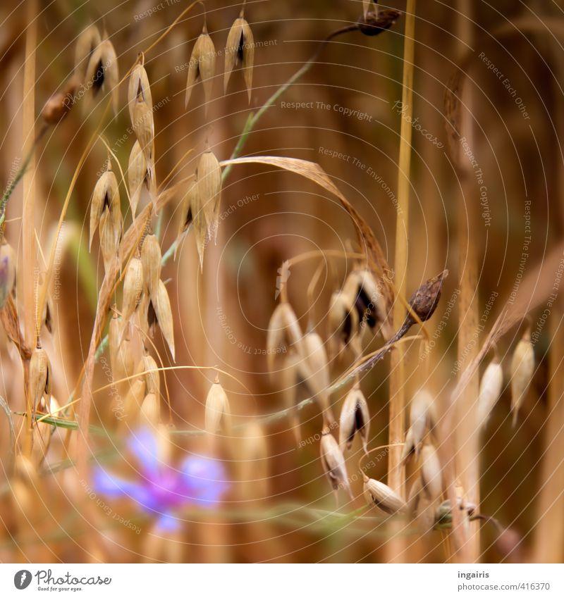 Warum, wieso oder wen sticht der Hafer? Natur blau grün Pflanze Sommer Blume schwarz natürlich Stimmung braun Feld Klima Wachstum Landwirtschaft Jahreszeiten