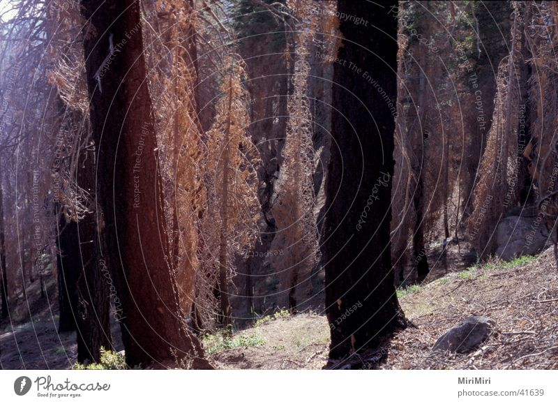 uralt-wald alt Baum Wald Tod Berge u. Gebirge USA trocken Nationalpark Nadelbaum